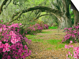 Oak Trees Above Azaleas in Bloom, Magnolia Plantation, Near Charleston, South Carolina, USA Posters by Adam Jones