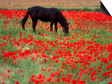 Black Horse in a Poppy Field, Chianti, Tuscany, Italy, Europe Posters by Patrick Dieudonne