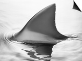 Shark Fin Print by Howard Sokol