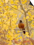 Male American Robin in Aspen Tree, Grand Teton National Park, Wyoming, USA Prints by Rolf Nussbaumer