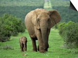 Mother and Calf, African Elephant (Loxodonta Africana), Addo National Park, South Africa, Africa Plakater af Ann & Steve Toon