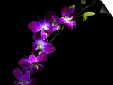 Purple Dendrobium Orchids Prints by Magda Indigo