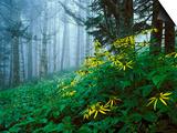 Golden-Glow Flowers, Great Smoky Mountains National Park, North Carolina, USA Print by Adam Jones