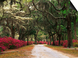 Road Lined with Azaleas and Live Oaks, Spanish Moss, Savannah, Georgia, USA Prints by Adam Jones