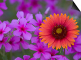 Phlox and Indian Blanket, Near Devine, Texas, USA Posters by Darrell Gulin