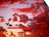 Silhouette of Roseate Spoonbills in Flight at Sunset, Tampa Bay, Florida, USA Posters par Jim Zuckerman