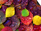 Multi-Colored Aspen Leaves with Rain Drop Print by Russell Burden