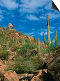 Saguaro Cactus in Sonoran Desert, Saguaro National Park, Arizona, USA Poster by Dee Ann Pederson