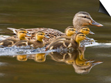 Mallard Duck and Chicks Near Kamloops, British Columbia, Canada Posters by Larry Ditto