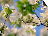 Dogwood Trees in Bloom, Jamaica Plains, MA Prints by Kindra Clineff