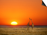 Giraffes Stretch their Necks at Sunset, Ethosha National Park, Namibia Print by Janis Miglavs