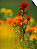 Red Indian Paintbrush Flower in Springtime, Nature Conservancy Property, Maxton Plains Posters by Mark Carlson