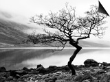 Solitary Tree on the Shore of Loch Etive, Highlands, Scotland, UK Posters by Nadia Isakova