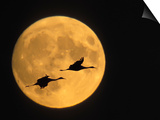 Sandhill Cranes Flying in Front of Full Moon, Bosque Del Apache National Wildlife Reserve Prints by Ellen Anon