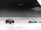 Buffalo Grazing, Buffalo Gap Nat Grassland, SD Prints by John Glembin