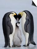 Emperor Penguin Chick and Adulta, Snow Hill Island, Weddell Sea, Antarctica, Polar Regions Prints by Thorsten Milse