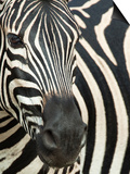 Burchell's (Plains) Zebra (Equus Burchelli), Mhkuze Game Reserve, Kwazulu Natal, South Africa Plakater af Ann & Steve Toon