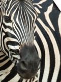 Burchell's (Plains) Zebra (Equus Burchelli), Mhkuze Game Reserve, Kwazulu Natal, South Africa Kunstdrucke von Ann & Steve Toon