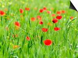 Happy Poppies in Valle De Orcia, Tuscany, Italy Prints by Nadia Isakova
