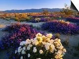 Flowers Growing on Dessert Landscape, Sonoran Desert, Anza Borrego Desert State Park, California Prints by Adam Jones