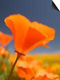 Poppies in Spring Bloom, Lancaster, California, USA Prints by Terry Eggers