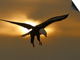 Bald Eagle Preparing to Land Silhouetted by Sun and Clouds, Homer, Alaska, USA Prints by Arthur Morris