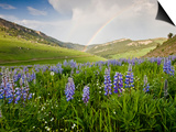 Lupines in Bloom and Rainbow After Rain, Bighorn Mountains, Wyoming, USA Poster by Larry Ditto
