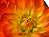 Dahlia Flower with Pedals Radiating Outward, Sammamish, Washington, USA Prints by Darrell Gulin