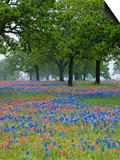 Texas Paintbrush and Bluebonnets Beneath Oak Trees, Texas Hill Country, Texas, USA Prints by Adam Jones