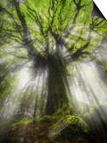 Ponthus Beech Tree 2 Affiche par Philippe Manguin