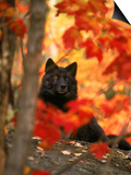 Black Timber Wolf Behind Autumn Foliage Prints by Don Grall