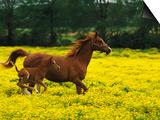 Arabian Foal and Mare Running Through Buttercup Flowers, Louisville, Kentucky, USA Posters by Adam Jones