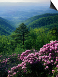 Blue Ridge Mountains Catawba Rhododendron, Blue Ridge Parkway, Virginia, USA Posters by Charles Gurche