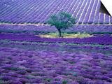 Lavender Fields, Vence, Provence, France Prints by Gavriel Jecan