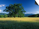 White Oak Tree in Grassy Field, Cades Cove, Great Smoky Mountains National Park, Tennessee, USA Art by Adam Jones