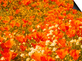 Poppies and Cream Cups, Antelope Valley, California, USA Poster by Terry Eggers