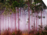 Mist Among Pine Trees at Sunrise, Everglades National Park, Florida, USA Print by Adam Jones