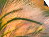 Foxtail Barley Backilt Near East Glacier, Montana, USA Posters by Chuck Haney