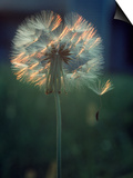 Dandelion Backlit by the Sun Posters by Kevin Leigh