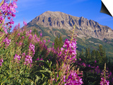 Fireweed and Mt. Gothic near Crested Butte, Colorado, USA Poster by Julie Eggers