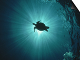 Silhouette of Underwater Sea Turtle from Beneath Prints by Erik Stein