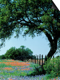 Paintbrush and Bluebonnets, Texas Hill Country, Texas, USA Posters by Adam Jones