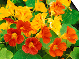 Nasturtium Flowers, Tropaeolum, Seattle, Washington, USA Prints by Adam Jones