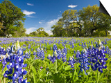 Field of Texas Bluebonnets and Oak Trees, Texas Hill Country, Usa Poster by Julie Eggers