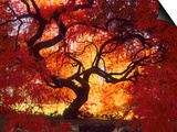 Japanese Maple, Darien, Connecticut, USA Poster by Alison Jones