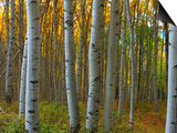 Aspen Grove, Kebler Pass, Colorado, USA Prints by Terry Eggers