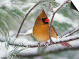 Female Northern Cardinal in Snowy Pine Tree Prints by Adam Jones