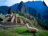 Llama Rests Overlooking Ruins of Machu Picchu in the Andes Mountains, Peru Prints by Jim Zuckerman