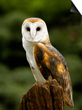 Barn Owl on Stump Print by Russell Burden