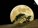 Windswept Live Oak Tree and Rising Full Moon at Night Posters by Diane Miller